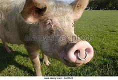 pig with ring